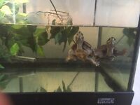 2 MUSK TURTLES. Open to sensible offers.