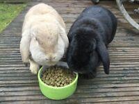 2 lops rabbits