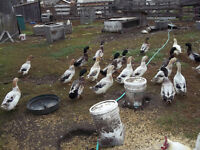 Barnyard mix ducks