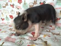 Only one micro mini pig left