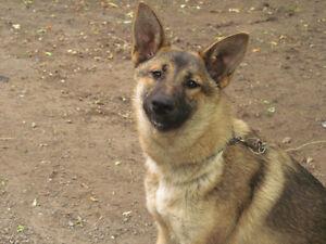 LOST! Female German Shepherd