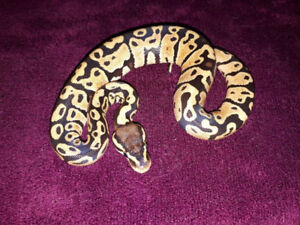 Young Ball Pythons