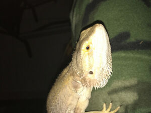 I have a bearded dragon for sale 60 let me no if interested