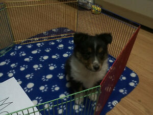 C.K.C. reg.SHETLAND SHEEPDOG (SHELTY)  puppies