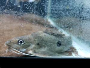 1 spot synodontis catfish