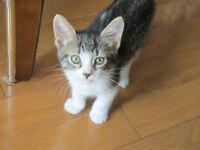 Otis - rescued brown & white tabby male kitten for adoption