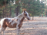 Paint Tennessee Walking Gelding