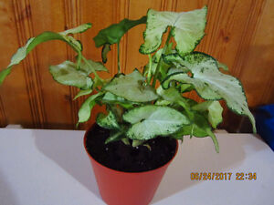"""Nephthytis """"Butterfly Arrowhead"""" Plant - Low Light"""