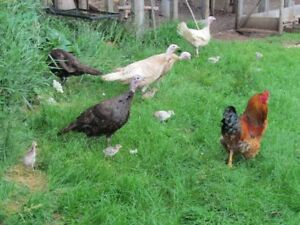 Mixed Breed Poults
