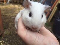 4 baby/young male Guinea pigs