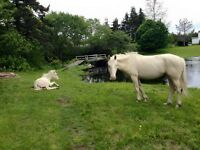 Cremello mare and yearling for sale or trade