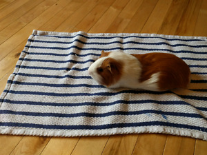 6 month old female guinea pig FREE
