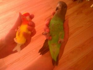 Parrot Groomer Will Clip Wings, Trim Nails and File Beaks Peterborough Peterborough Area image 3