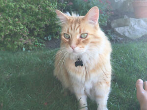 Large Orange Tabby Male long hair