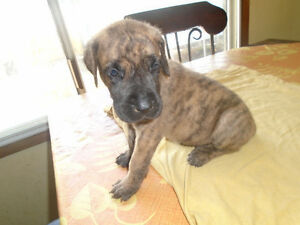 Purebred Great Dane puppies in CALGARY