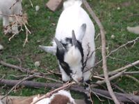 Miniature and Boer Goats
