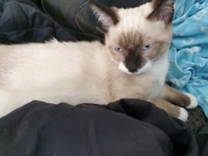 2 x 4 month old Siamese x Burmese kittens
