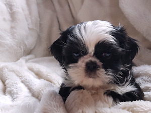SHIH TZU PUPPY FOR SALE *ONLY 1 LEFT!*