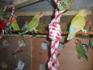 LOVEBIRDS FOR SALE NEW BABIES READY TO HAND FEED Sarnia Sarnia Area image 7