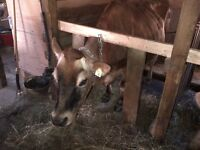 Organic Jersey House Cow