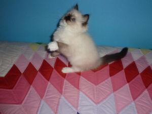Beautiful Quality TICA Registered Ragdoll Kittens.