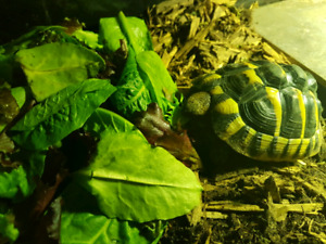Hermann's Tortoise with Entire Setup