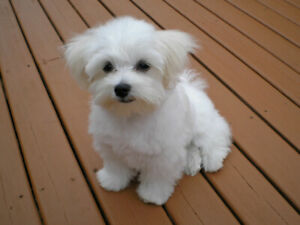 Looking for Maltese puppy