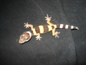 BEAUTIFUL FANCY  BABY LEOPARD GECKOS--$60.00