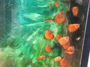 Discus for sale very beautiful fish