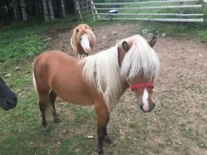 Stud Mini Horse for Sale