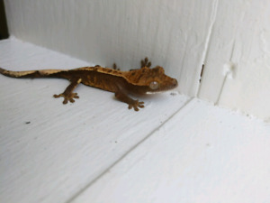 2018 Crested Gecko- Gin