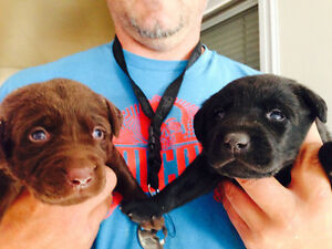 Black and Chocolate Lab Puppies(ALL SOLD PENDING PICKUP)