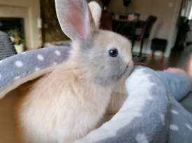 🤍Bunny only £20🤍 Male mini lop 🐰
