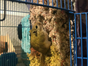 Gerbil for free to good home