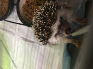 1year old Hedgehog for sale