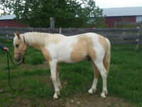 For sale: Palomino paint gelding (yearling)