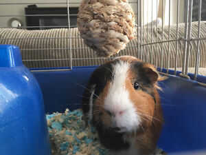 Two Guinea Pigs - selling due to allergies