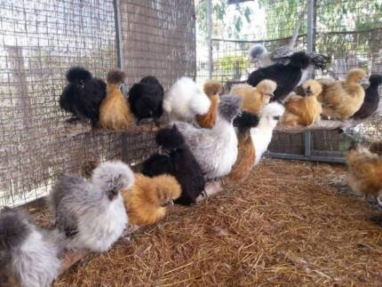 CHICKENS BEAUTIFUL SILKIE PULLETS VACCINATED WORMED ISA BROWNS