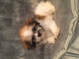 Shih Tzu | Adopt Dogs & Puppies Locally in Ontario | Kijiji