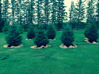 6 ft white spruce trees and assorted sizes