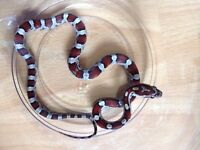 Charming Corns availability (baby corn snakes)