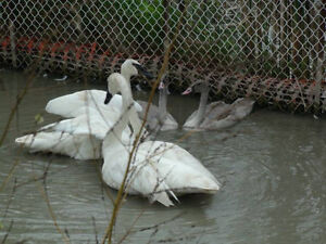 Trumpeter Swan - (Female Wanted)