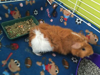 FREE, two male guinea pigs