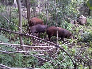 heritage weaner pigs, pigglets, sows, boar, and pigs $50+ Kitchener / Waterloo Kitchener Area image 7