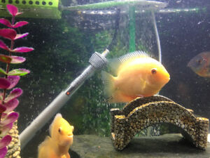 Golden Severum for sale 3 to 3.5 inch.