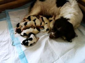Beautiful Springer Spaniel pups