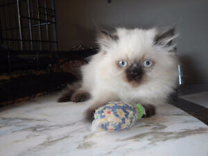 Himalayan x Persian Kitten (Boy)