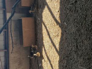 Manderian ducks