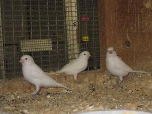 White Canaries London Ontario image 1