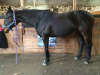 TB mare for sale MOTIVATED SELLER!!!!
